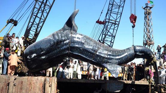 36 FOOT LONG WHALE SHARK