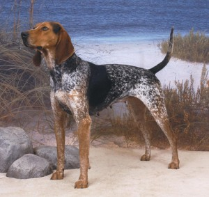 AMERICAN ENGLISH COONHOUND (Hound Group)
