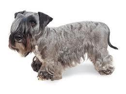 CESKY TERRIER (Terrier Group)