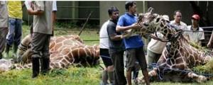 30-year-old giraffe dies
