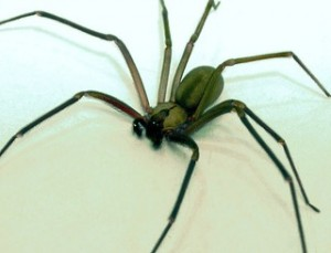 Brown Recluse Spider Spreading across US (Photo and Video)