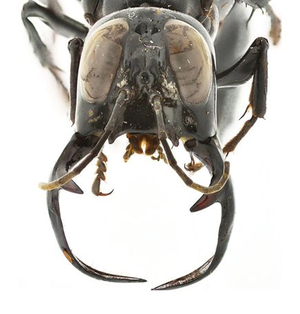 Megalara garuda giant wasp species found