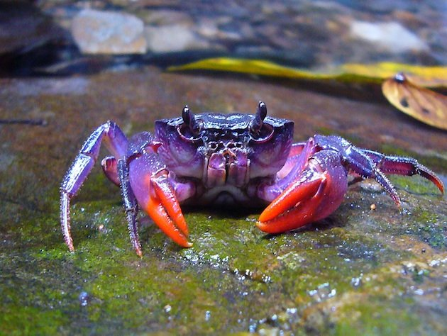 New species of purple crabs found in Philippines