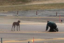 Rhodesian Ridgeback puppy at New York City's LaGuardia Airport