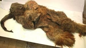 preserved mammoth yuka