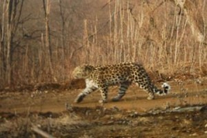 Rare, endangered Amur leopards