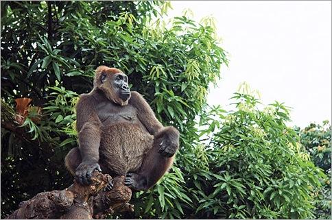 World's Rarest Gorilla, Cross River Gorilla Caught in Camera