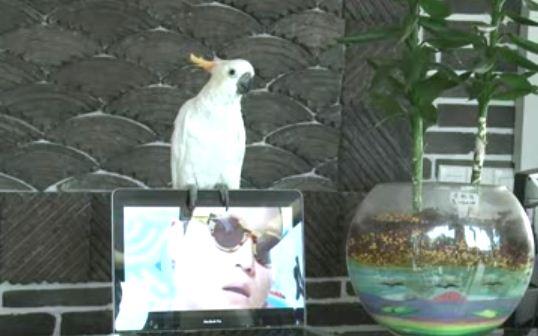 Cockatoo Sings Gangnam Style