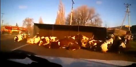 Truck full of cows crashed