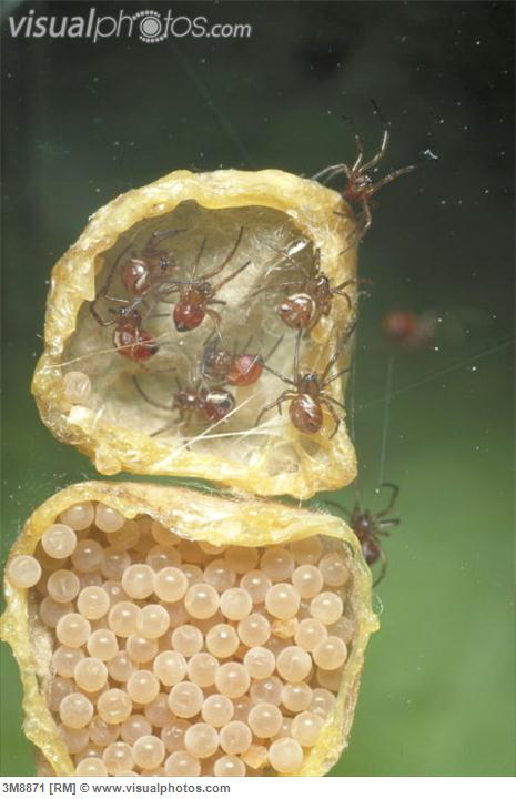black widow spiders hatching