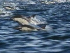 Featured Video: Dolphin Stampede Filmed Near Dana Point