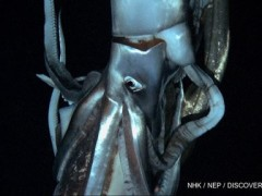Japan Scientists Filmed a Giant Squid in Pacific Depths [Video]
