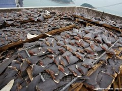 Freshly sliced shark fins found on Hong Kong rooftop [Video]